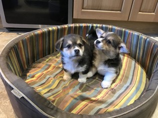 Pembroke Welsh Corgi Puppy For Sale in SAINT PAUL, MN, USA