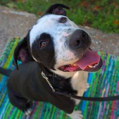 Hawkeye - Labrador Retriever / Labrador Retriever Dog For Adoption