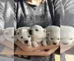 Small #1 Miniature American Eskimo
