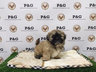 Shih Tzu Puppy For Sale in TEMPLE CITY, CA