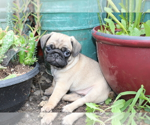Pug Puppy for sale in JOICE, IA, USA