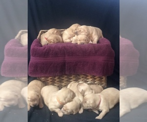 Golden Retriever Puppy for sale in OREGON CITY, OR, USA