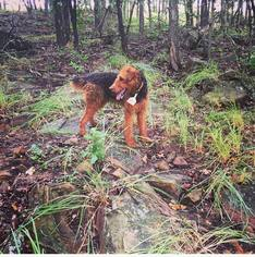 Airedale Terrier Puppy For Sale in PAWHUSKA, OK