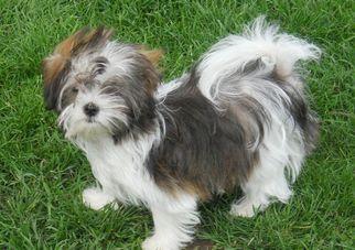 Mi-Ki Puppy For Sale in FAIRFAX, MO
