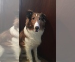 6 Month Old Male Sheltie For Sale