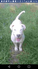 Puppyfinder com: American Bully Mikelands puppies puppies