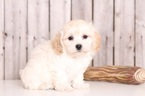 Poo-Ton Puppy For Sale in MOUNT VERNON, OH, USA