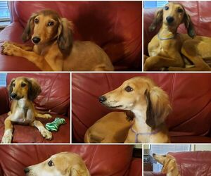 Saluki Puppy for sale in TALLAHASSEE, FL, USA