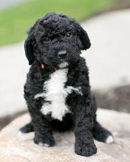 Saint Berdoodle Puppy For Sale in CLARENCE, NY