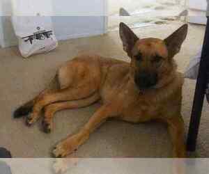German Shepherd Dog Dog For Adoption in ESCONDIDO, CA, USA