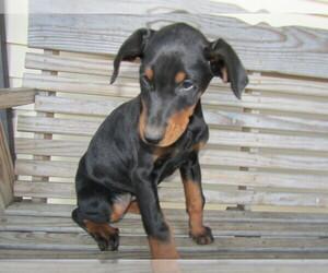 Doberman Pinscher Puppy for sale in CHICAGO, IL, USA