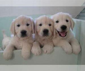 Golden Retriever Puppy for sale in RICHMOND, IN, USA