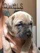 Cane Corso Puppy For Sale in TUSTIN, California,
