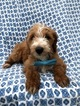 Take Home F2 Mini Goldendoodle Bruce TODAY