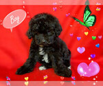 Small Photo #1 Maltese-Maltipoo Mix Puppy For Sale in SAN FRANCISCO, CA, USA