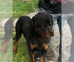 Rottweiler Puppy For Sale in ARVADA, CO, USA