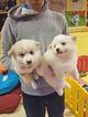 Pomeranian Puppy For Sale in NASHVILLE, TN