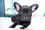 French Bulldog Puppy For Sale in MIAMI, FL,