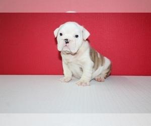 English Bulldog Puppy for Sale in HIALEAH, Florida USA