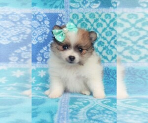 Pomeranian Dog for Adoption in LANCASTER, Pennsylvania USA
