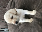 Labrador Retriever Puppy For Sale in ELKTON, OR, USA
