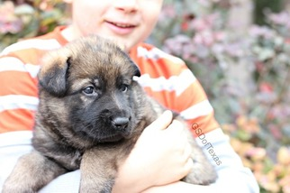 German Shepherd Dog Puppy For Sale in HICO, TX, USA
