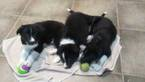 Border Collie puppies looking for forever homes