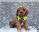 Small #13 Cocker Spaniel-Poodle (Miniature) Mix