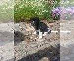 Puppy 4 Border Collie-Unknown Mix