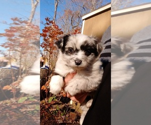 Australian Shepherd-Poodle (Miniature) Mix Puppy for sale in SPENCER, TN, USA