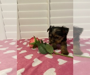Yorkshire Terrier Puppy for sale in FAIRBURN, GA, USA