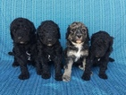 Poodle (Standard) Puppy For Sale in ORION, IL,