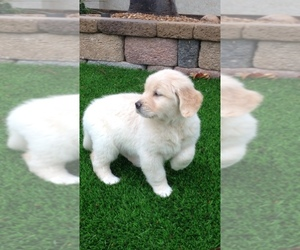 Golden Retriever Puppy for sale in RAMONA, CA, USA