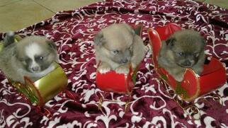 Pomeranian Puppy for sale in HESPERIA, CA, USA