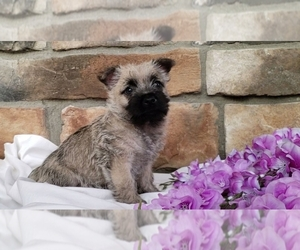 Cairn Terrier Puppy for Sale in SUGARCREEK, Ohio USA