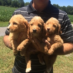 Brittnepoo Puppy For Sale in COLUMBIA, KY