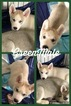 Siberian Husky Puppy For Sale in TAYLORVILLE, IL, USA