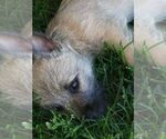 Small #2 Cairn Terrier