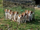 Brittany Puppy For Sale in CASEY, IA