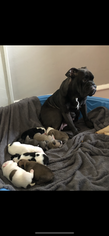 Mother of the Olde English Bulldogge puppies born on 12/10/2018