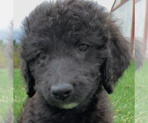 Poodle (Miniature) Puppy for Sale in DAVISON, Michigan USA