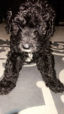 Sheepadoodle Puppy For Sale in AUSTIN, TX, USA