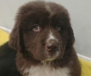 Newfoundland Puppy for sale in POCATELLO, ID, USA