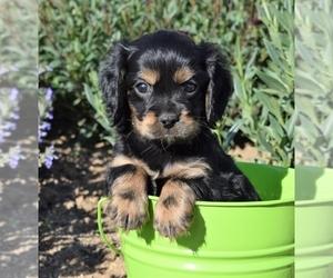 Cava-lon-Cockalier Mix Puppy for sale in HUMBOLDT, AZ, USA
