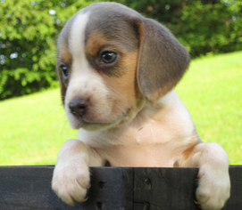 Beagle Puppy For Sale in WOMELSDORF, PA, USA