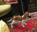 Cavalier King Charles Spaniel Puppy For Sale in WAPPINGERS FALLS, NY, USA