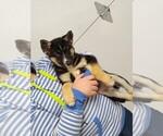 Small #9 German Shepherd Dog-Siberian Husky Mix