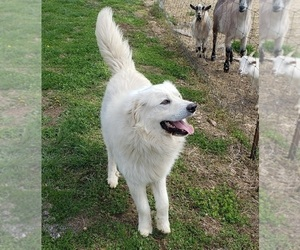 Great Pyrenees Puppy for Sale in DOWELLTOWN, Tennessee USA