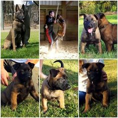 Belgian Malinois Puppy For Sale in RICHLANDS, NC, USA