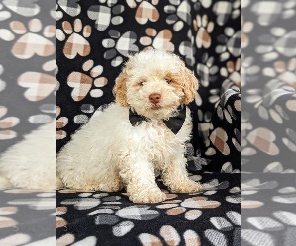 Medium Photo #3 Shih-Poo Puppy For Sale in LINCOLN UNIV, PA, USA